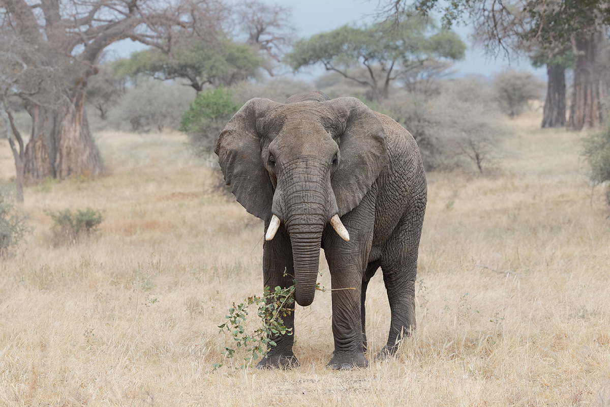 african-elephant-eating-in-woodland-_y5o0569-tarangire-national-park-tanzania