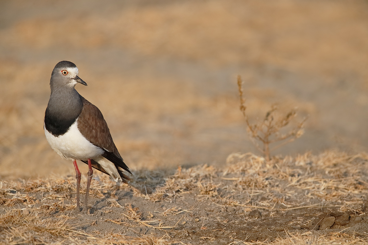 black-winged-plover-_y5o6981-ngorongoro-crate-tanzania