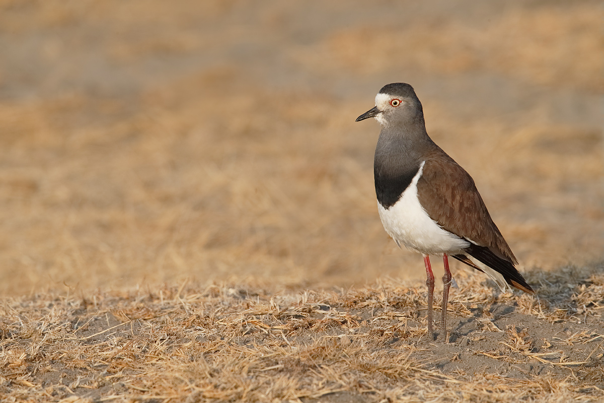 black-winged-plover-_y5o6984-ngorongoro-crate-tanzania