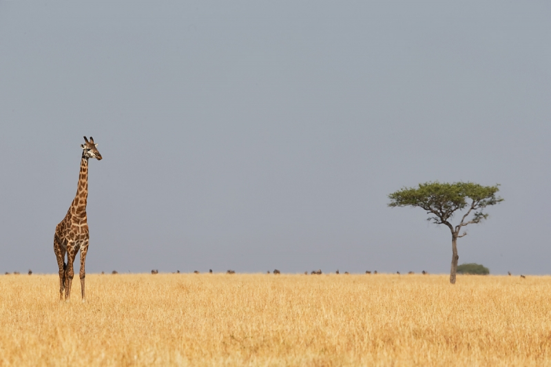 maasai-giraffe-on-plains-with-wildebeest-and-acacia-tree-_y5o5766-mobile-tented-camp-mara-river-serengeti-tanzania-jpg