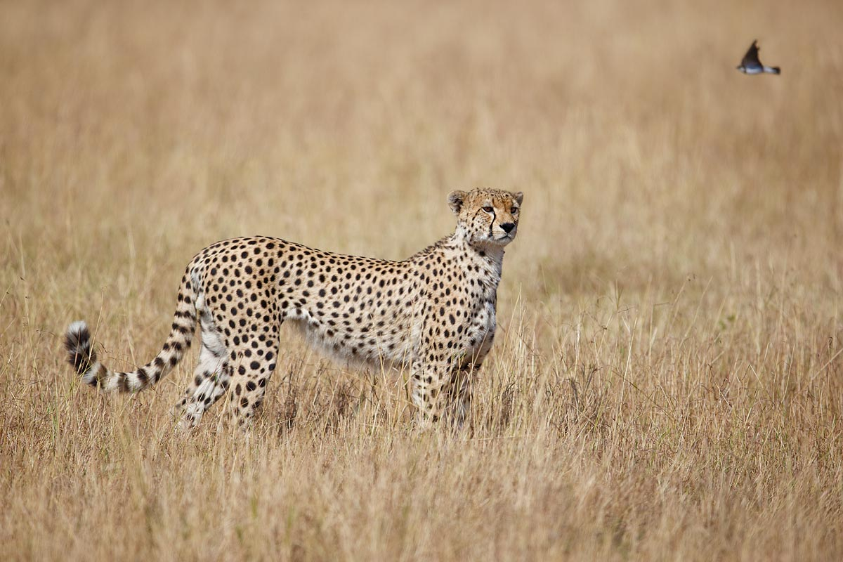 cheetah-and-lark-_y7o5814-mobile-tented-camp-mara-river-serengeti-tanzania