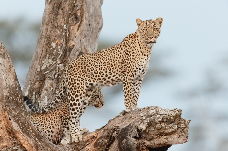 leopard-adult-and-young-in-tree-_y5o6321-seronera-serengeti-tanzania-jpg