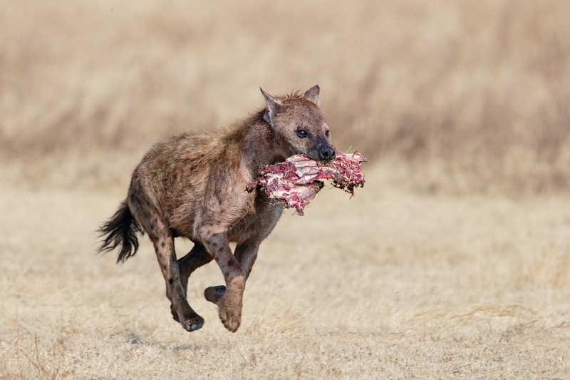 spotted-hyena-running-with-wildebeest-ribs-_y7o6938-ngorongoro-crater-tanzania