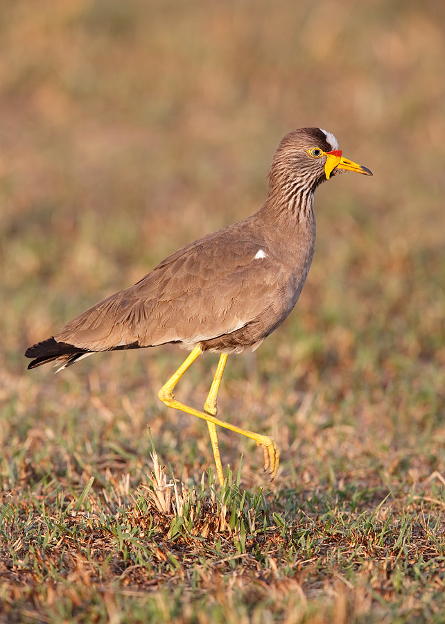 wattled-plover-light-late-sun-_y7o4434-mobile-tented-camp-mara-river-serengeti-tanzania