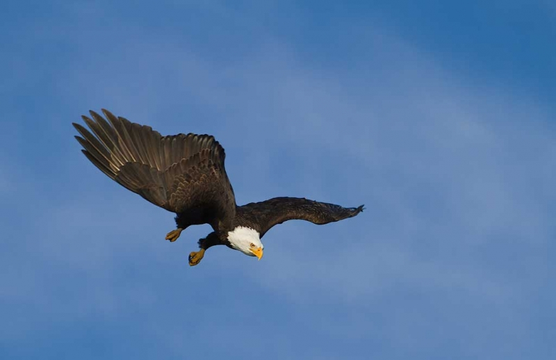 bald-eagle-diving-layers-7d-nik-ce-details-extractor-_mg_0016-homer-ak-copy