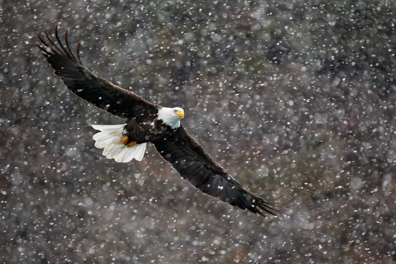 bald-eagle-in-snow-bill-replaced-after-nik-_w3c2001-homer-ak
