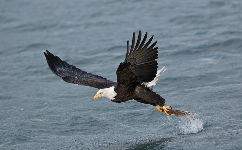 bald-eagle-striking-fish-bpn-_w3c2379-homer-ak