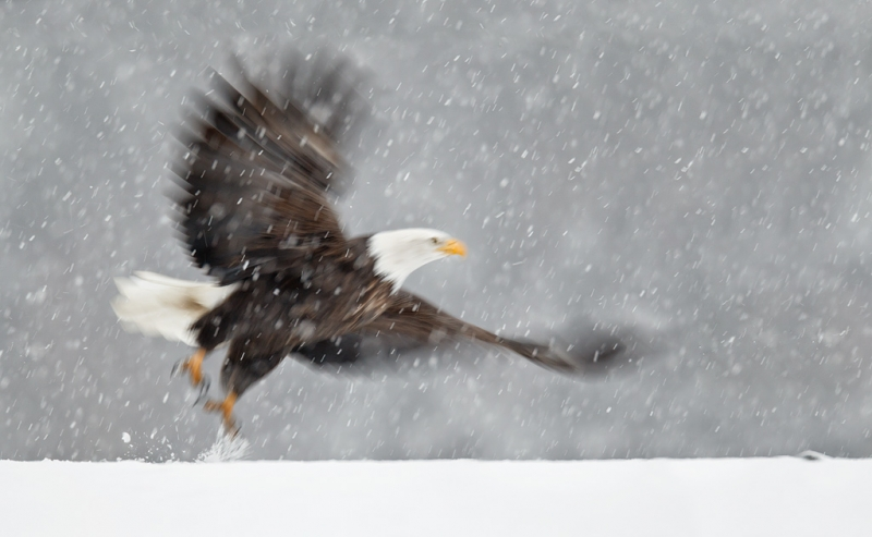 bald-eagle-take-off-blur-in-snow-bpn-_y9c7047-homer-ak