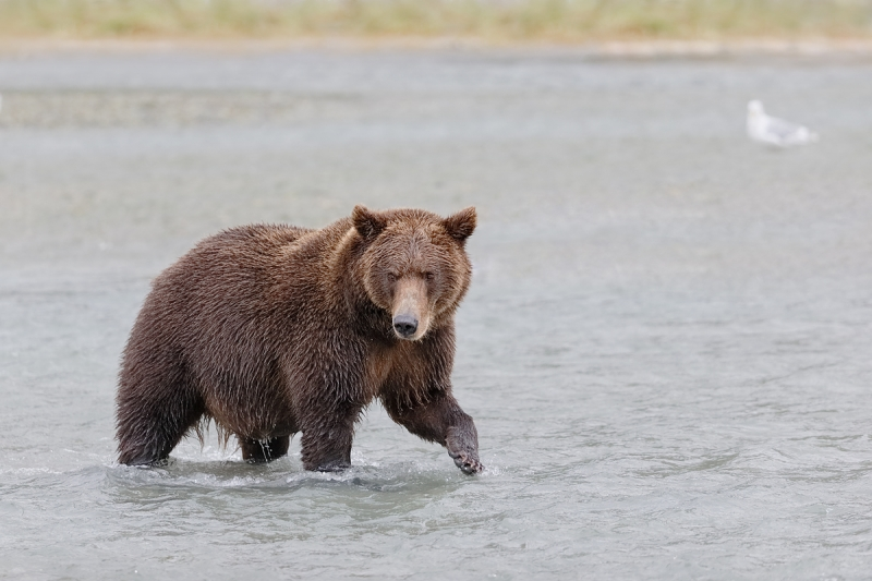 brown-bear-fishing-_y7o7918-geographic-harbor-katmai-national-park-ak