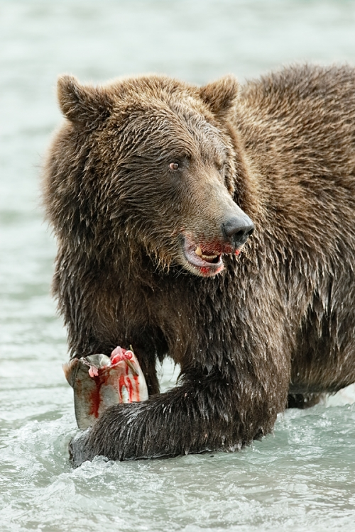 brown-bear-holding-slamon-lookiing-_y7o7993-geographic-harbor-katmai-national-park-ak