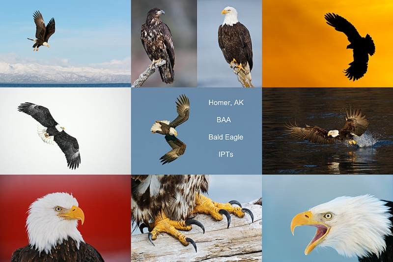 homer-bald-eagle-ipt-composite