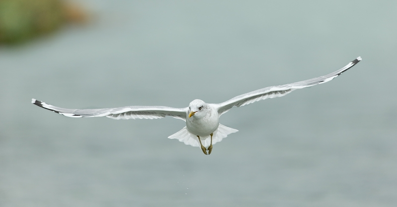 mew-gull-over-salmon-stream-_y7o8318-geographic-harbor-katmai-national-park-ak