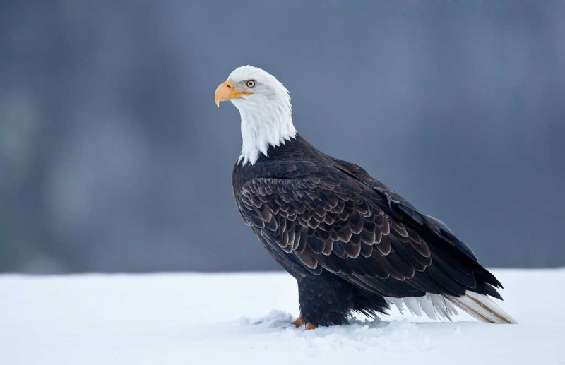 bald-eagle-on-snow-distant-spruce-bkr-_y9c7336-homer-ak
