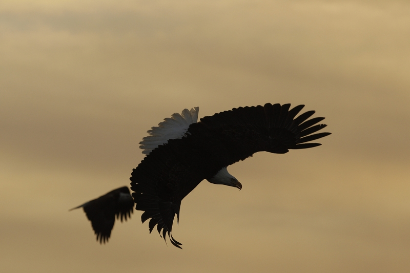bald-eagle-turning-to-dive-orig-_y9c6822-near-homer-ak