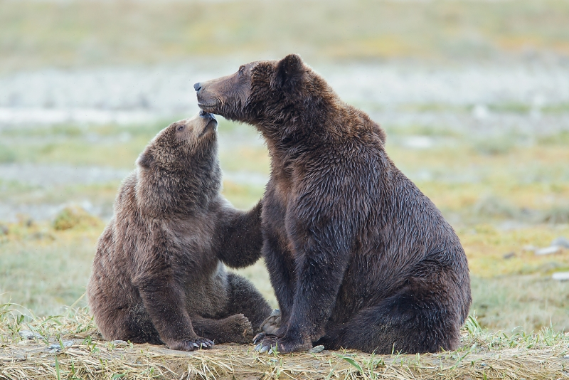 brown-bear-yearling-kissing-mom-one-_w3c5404-geographic-harbor-katmai-national-park-ak