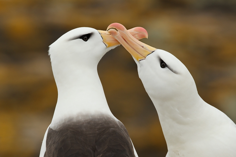 black-browed-albatross-courting-pair-larger-_y9c2748-new-island-falkland-islands
