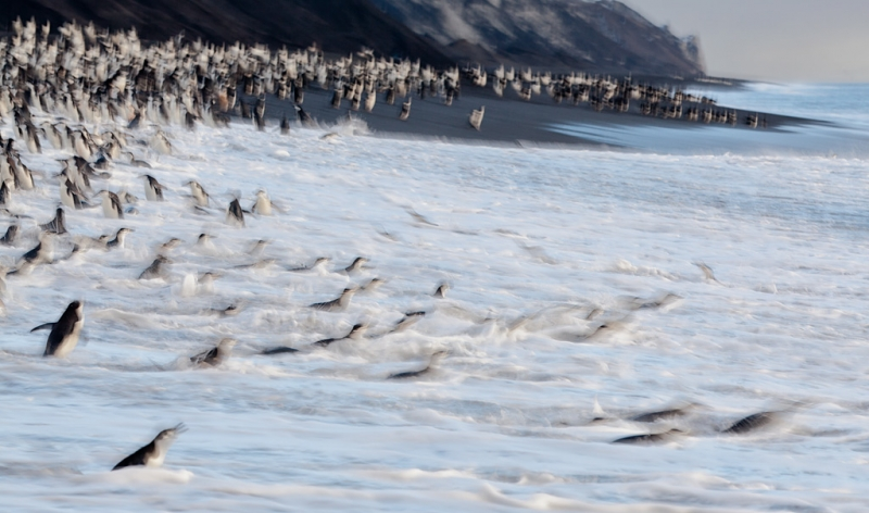 chinstrap-penguins-entering-water-bpn-1-8-sec-blur-at-270mm-5d-mii-_mg_1496-bailey-head-deception-island-antarctica