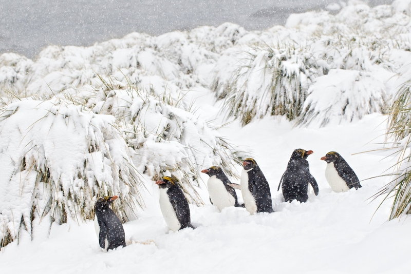clemens-vanderwerf-macaroni-penguins-lined-up-in-heavy-snow-bm7e1880-cooper-bay-south-georgia-islands