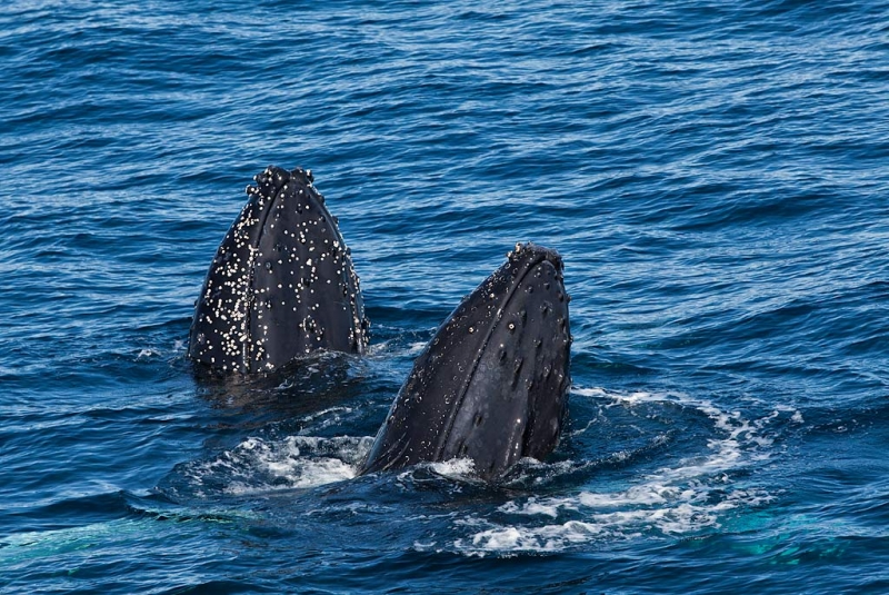 humpback-whales-bpn-spy-hopping-_mg_7813-weddell-sea-southern-ocean