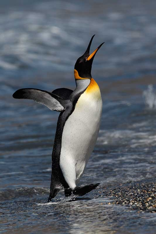 king-penguin-emerging-from-surf-calling-display-_y9c7689-st