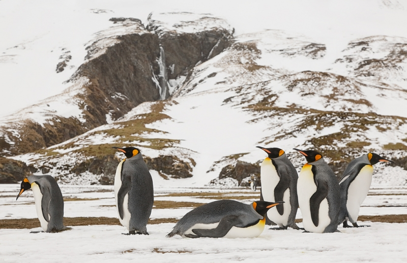 king-penguins-24-105-at-84mm-_a1c9340-fortuna-bay-south-georgia