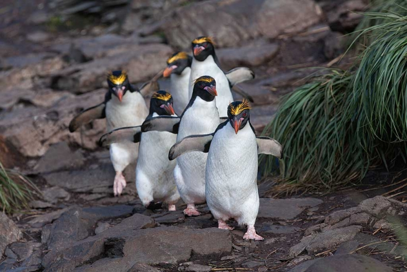 macaroni-penguins-headed-to-sea-_mg_6189-hercules-bay-south-georgia-southern-ocean