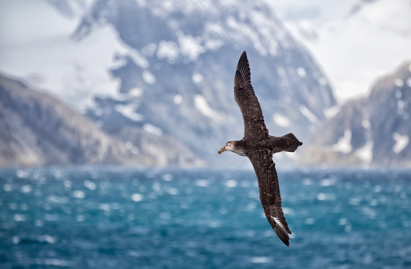 northern-giant-petrel-_mg_7563-drygalski-fjiord-south-georgia-southern-ocean