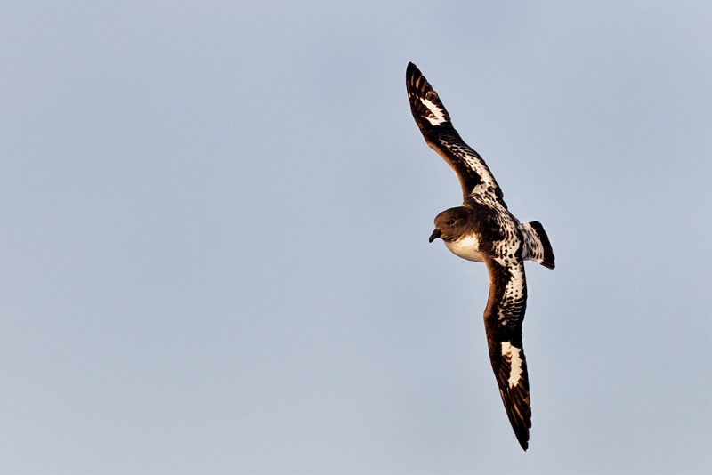 pintado-petrel-5d-mii-86-percent-crop-_mg_7754-southern-ocean-sw-of-the-south-orkneys