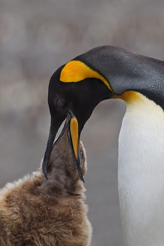 adult-king-penguin-feeding-chick-st-andrews-bay-south-georgia