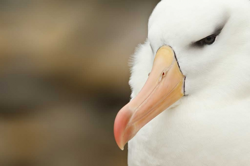 black-browed-albatorss-head-portrait-_y9c2707-new-island-falkland-islands
