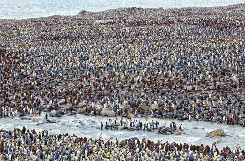 king-penguin-colony-110mm-1-20-sec-at-f-32-_mg_6651-st