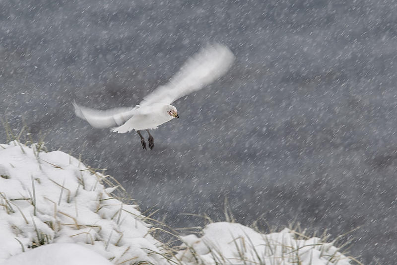 sheathbill-flying-in-snowstorm-with-motion-cooper-bay-south-georgia