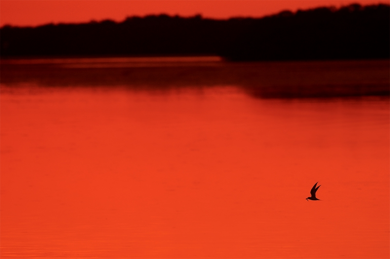 Least-Tern-with-fish-at-sunset-_BUP4962--Fort-DeSoto-Park,-Tierra-Verde-FL-1