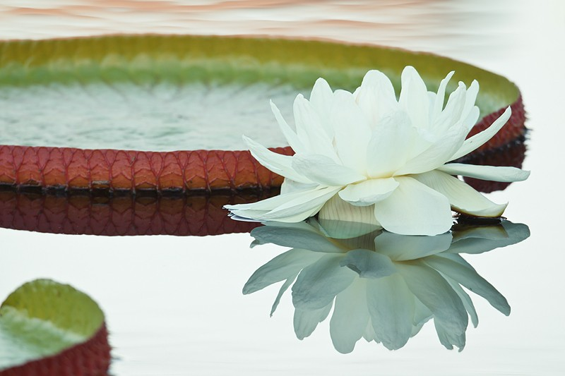 water-lily-_w3c7466-naples-botanical-gardens-fl