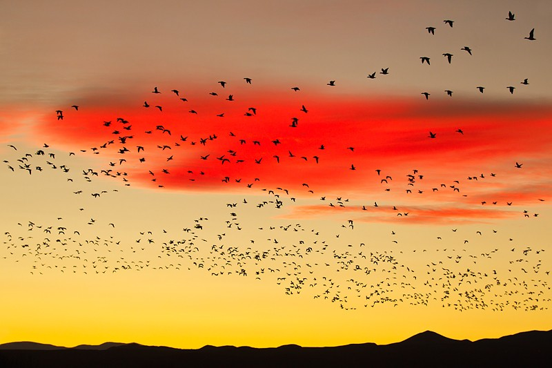 snow-geese-flock-at-sunset-_y9c9891-bosque-del-apache-nwr-san-antonio-nm