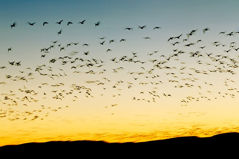 snow-geese-predawn-clear-morning-blur-_y9c9924-bosque-del-apache-nwr-san-antonio-nm