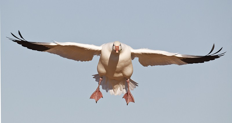snow-goose-incoming-747-_w3c4816-bosque-del-apache-nwr-san-antonio-nm