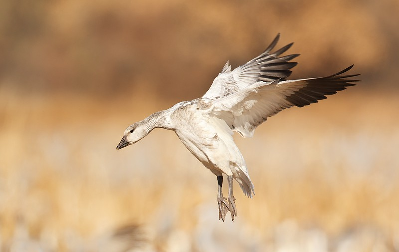 snow-goose-immature-wings-swept-back-landing-_w3c9973-bosque-del-apache-nwr-san-antonio-nm
