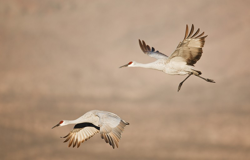 sandhill-crane-pair-in-flight-on-cold-morning-_w3c8445-bosque-del-apache-nwr-san-antonio-nm