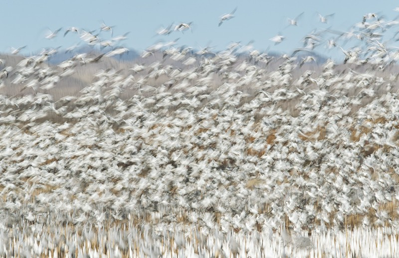 snow-geese-blast-off-215-mm-1-8-at-f-20-_y9c0246-bosque-del-apache-nwr-san-antonio-nm