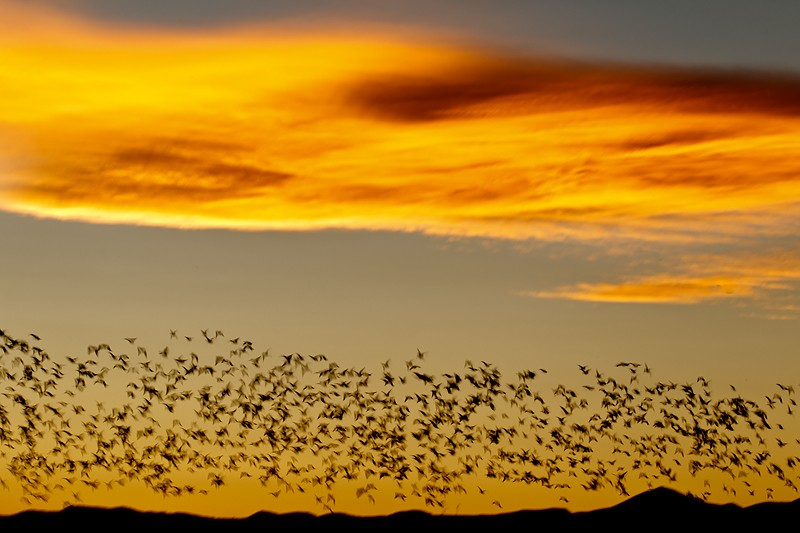 snow-geese-headed-home-over-ridge-_y9c9800-bosque-del-apache-nwr-san-antonio-nm