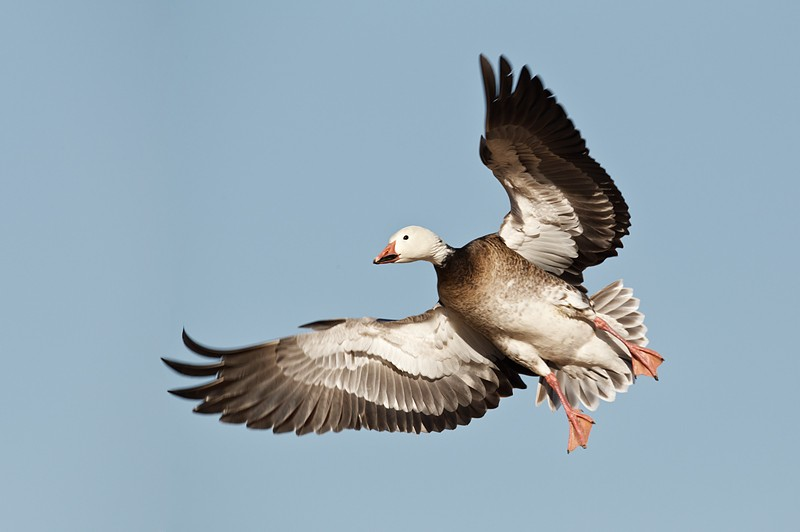 blue-goose-wheeling-in-flight-_w3c4876-bosque-del-apache-nwr-san-antonio-nm