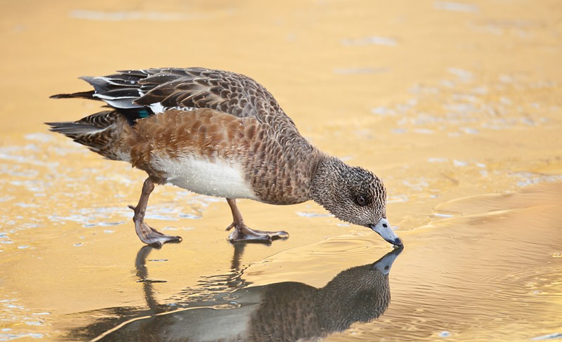 american-wigeon-hen-on-ice-sipping-melt-wate-r_w3c3002-bosque-del-apache-nwr-san-antonio-nm