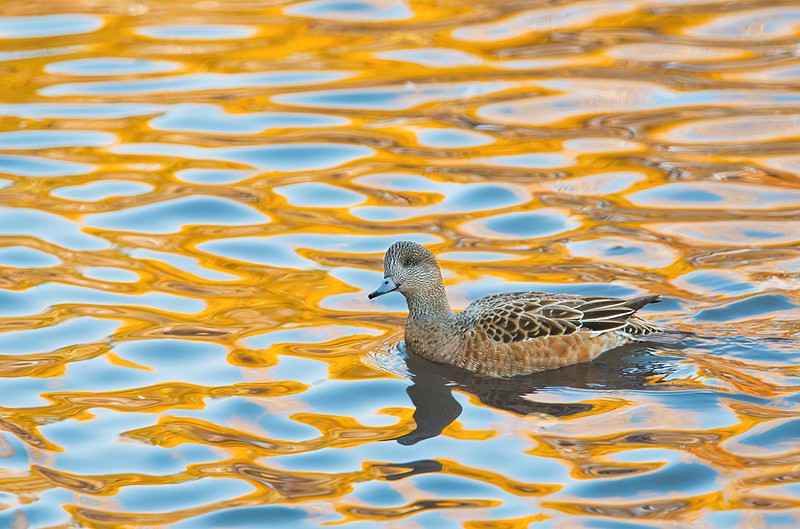 american-wigeon-in-blue-yellow-reflections-_y9c9687-bosque-del-apache-nwr-san-antonio-nm