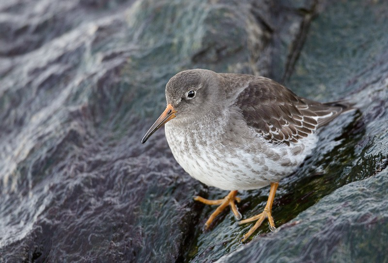 purple-sandpiper-in-shade-9m4o9720-barnegat-inlet-nj