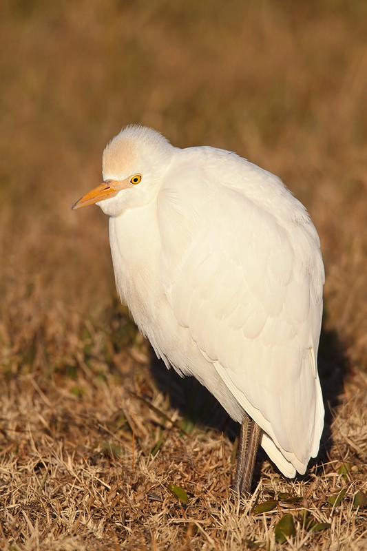 cattle-egret-on-cold-morning-_w3c9789-indian-lake-estates-fl