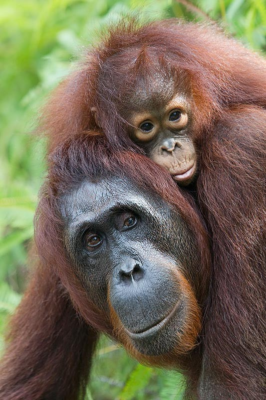 pm-16a-mother-orangutan-pongo-pygmaeus-carrying-baby-on-shoulders-tanjung-national-park-kalimantan-indonesia