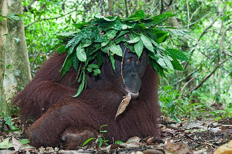 pm-11-borneo-orangutan-pongo-pygmaeus-sheltering-from-the-rain-with-makeshift-leaf-umbrella-tanjung-puting-national-park-kalimantan-indonesia