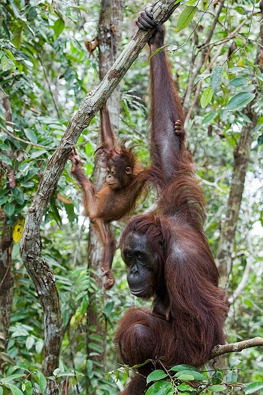 pm-17-adult-and-juvenile-borneo-orangutan-pongo-pygmaeus-in-rainforest-trees-tanjung-puting-national-park-kalimantan-indonesia