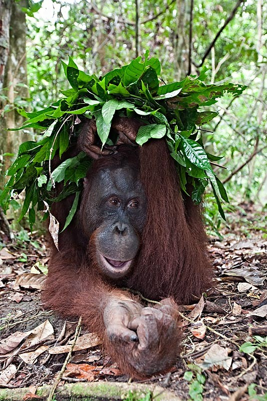 pm-10-borneo-orangutan-pongo-pygmaeus-sheltering-from-the-rain-with-makeshift-leaf-umbella-2-tanjung-puting-national-park-kalimantan-indonesia
